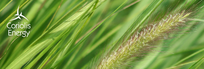 Image:  Close-up of green grass seed head blowing in wind